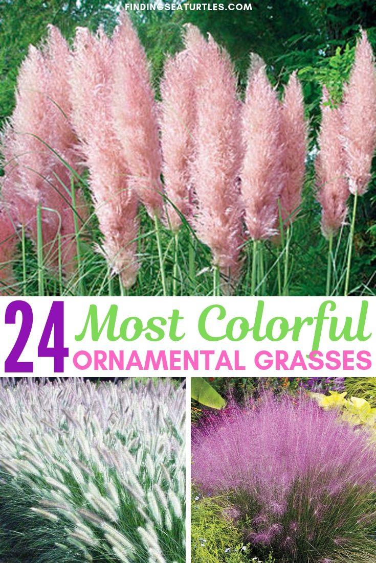 24 Best Ornamental Grasses Finding Sea Turtles Pink Pampas Grass Ornamental Grasses Cortaderia Selloana