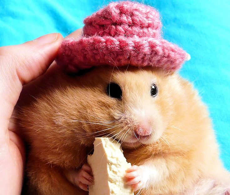 Funny hamster eating cheese