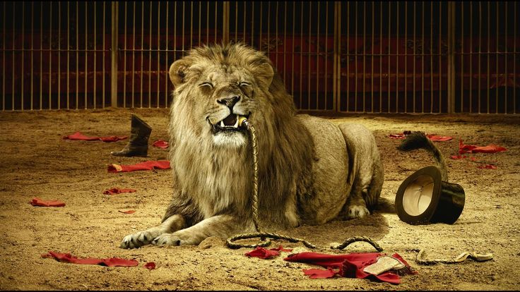 Lion in the circus pictures and wallpaper for desktop - Picture for Desktop