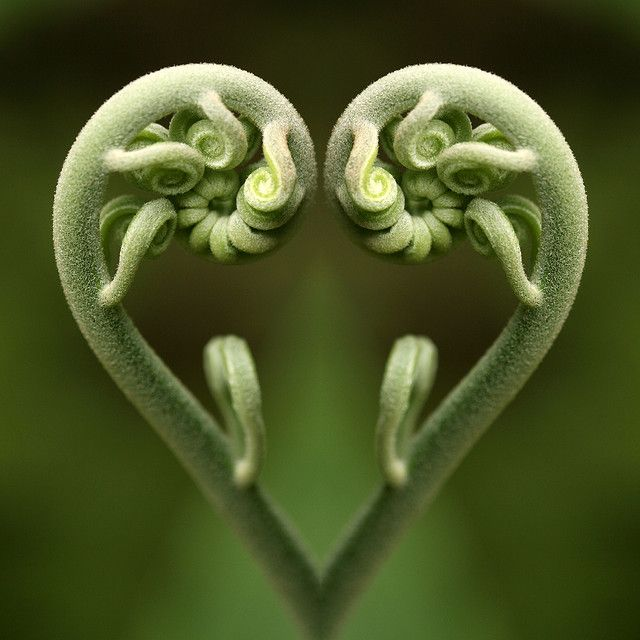 This amazing plant picture is called  a Fern Fiddlehead. Part of the development process of Ferns!