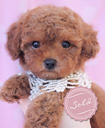Poodles For Sale at TeaCups Puppies and Boutique