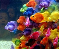 underwater life!Schools Of Fish, Pretty Fish, Rainbowfish, Parrots, Rainbows Fish, Sea, Colors Fish, Colorful Fish, Animal