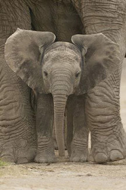 Elephant Baby  One of the most gentle creatures that are so beautiful and are known to grieve and bury their own dead and look after each other no matter what. I feel like we could learn so much from them.
