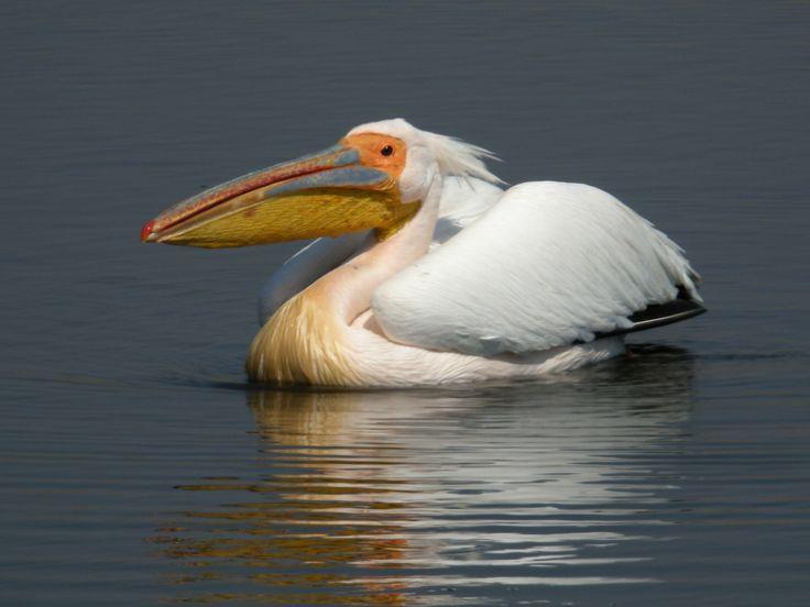 pelican photos | Description Great White Pelican, Etosha National Park, Namibia.jpg