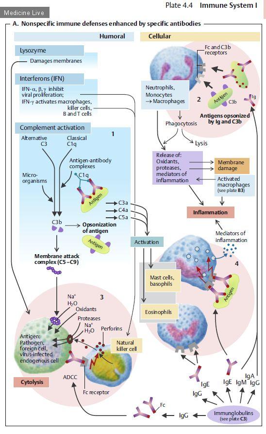Физиология, Sinbernagl, ч5 - вегетативная нервная система, кровь, иммунная система / Физиология / Medicine Live