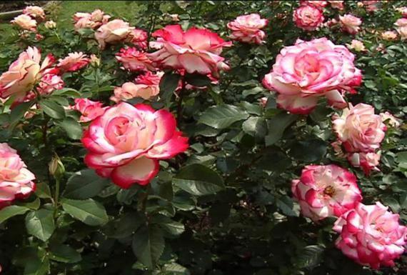 http://2.bp.blogspot.com/-m3pr8YJChro/UYxspDVxHsI/AAAAAAAAA1M/iGUjcyGlp1U/s1600/perbanyakan+bunga+mawar.jpg