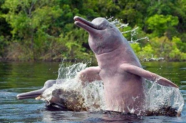 El delfín rosado del Amazonas, un delfín de agua dulce