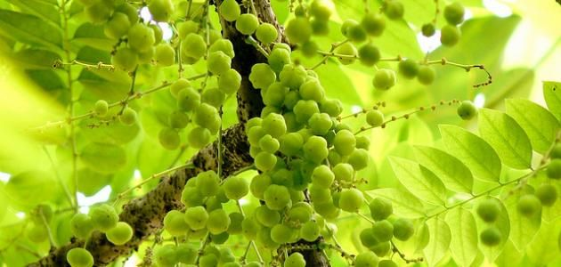 ما هي عشبة الأملج عشبة الأملج أو ما تعرف بـ عنب الثعلب الهندي هي نبات عشبي موجودة منذ القدم وبخاصة في الهند وكانت ولا تزال تدخل في صناعة ال Grapes Fruit
