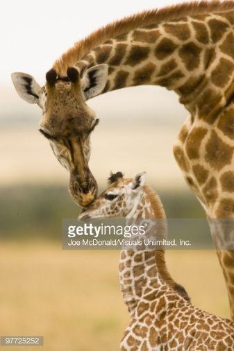 Female Masai Giraffe with young (Giraffa camelopardalis tippelskirchi) in the Masai Mara Game Reserv