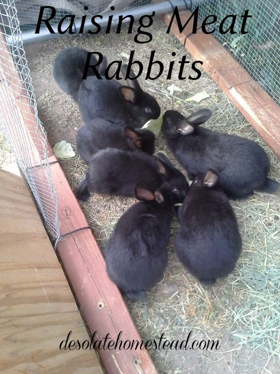 Raising Meat Rabbits If you want to raise your own meat, you should consider starting with rabbits, let me explain why. | desolatehomestead.com