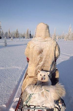 Dik, a Sami reindeer herder's dog