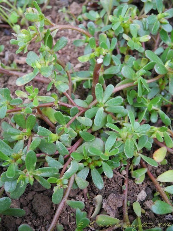 Les 53 meilleures images du tableau herbes sauvages sur pinterest plantes sauvages comestibles - Pomme de terre germee comestible ...