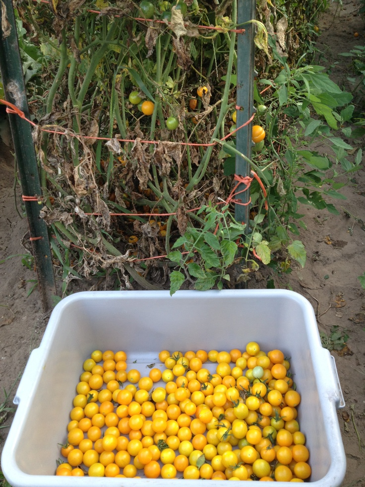Yellow cherry tomatoes from our garden