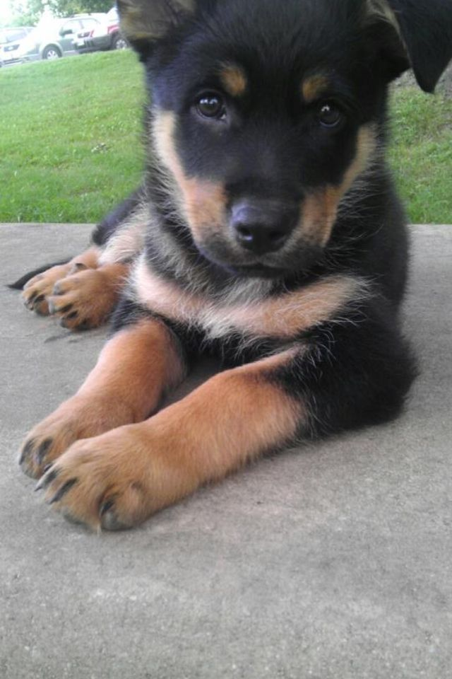 My German shepherd /rotweiller mix puppy  This looks so much like my Toby when he was a baby....I mean puppy,