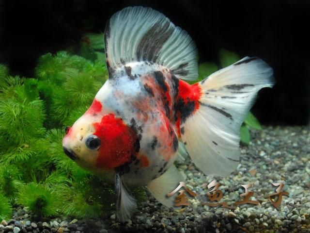120 Best Images About Goldfish