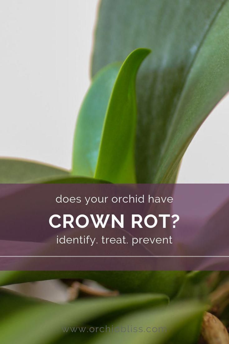 Are Your Orchid Leaves Falling Off Your Orchid Could Have Crown Rot