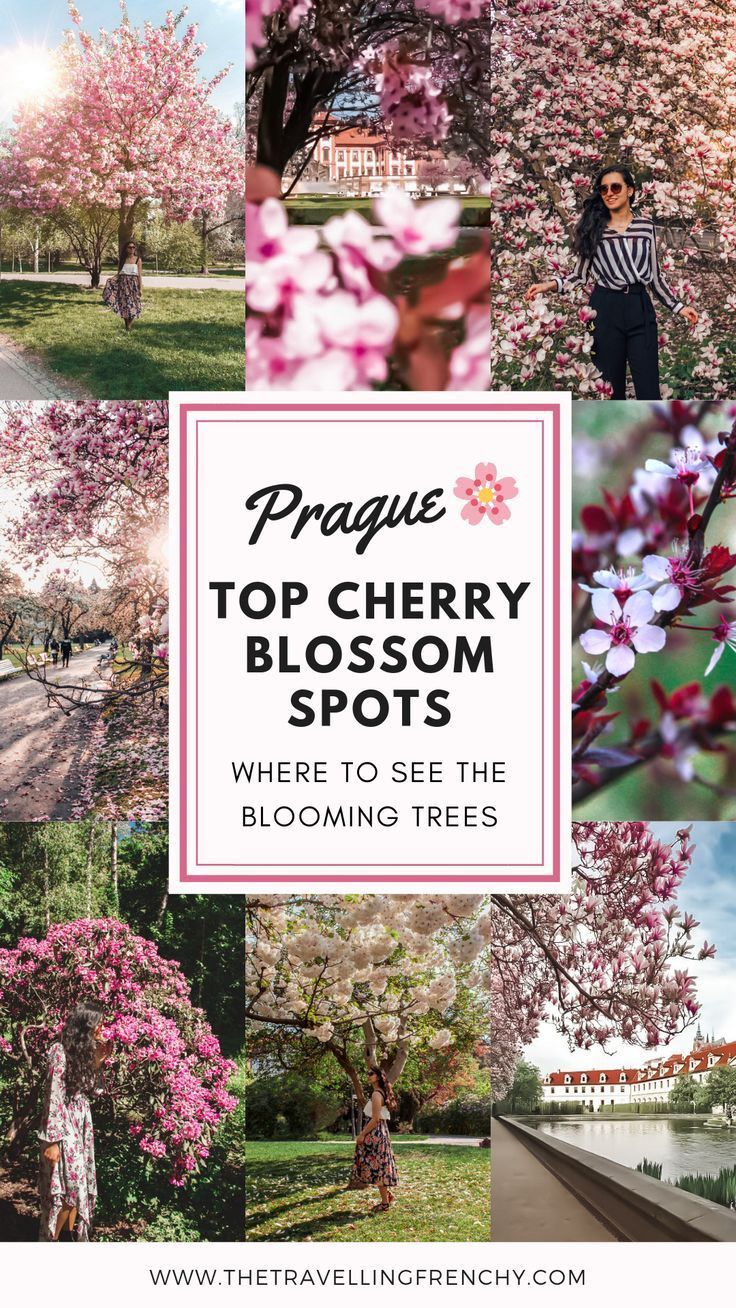 Top Cherry Blossoms Spots In Prague The Travelling Frenchy Spring Travel Destinations Cherry Blossom Prague
