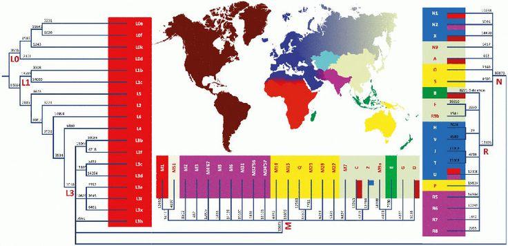 MtDNA haplogroup tree and distribution map / Wikimedia  EVA MITOCONDRIAL
