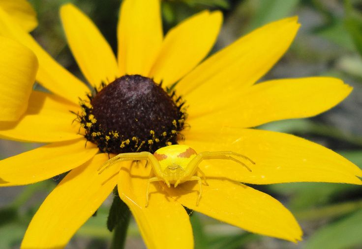 Yellow Spider on a Yellow Flower: I sat down to watch our children play in the lake and this colorful one found me sitting beside her. Photo taken in Dorset, Ontario, Canada. (© Jeremy Crawford/National Geographic Photo Contest) #