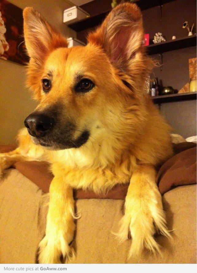German Shepherd Husky Mix Full Grown