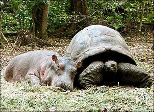 Tsunami-orphaned baby hippo. The tortoise acted as its mother.