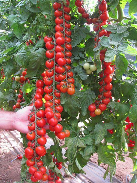 Так вже у нас виходить - «То густо, то пусто»! Ринок непередбачуваний. Сьогодні потрібен червоний великий томат, а завтра просять тільки рожевий.