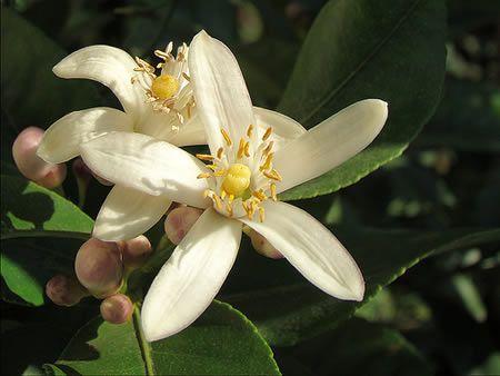 Άνθη λεμονιάς