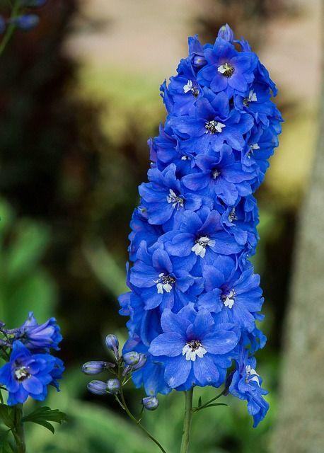 pictures of larkspur flowers | Delphinium, Larkspur, Blue Flowers, Flower Spike