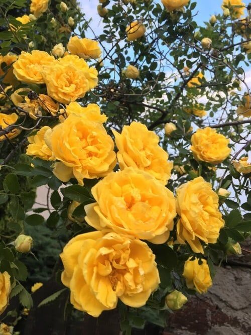 Yellow aesthetic roses rose flowers flower beautif…