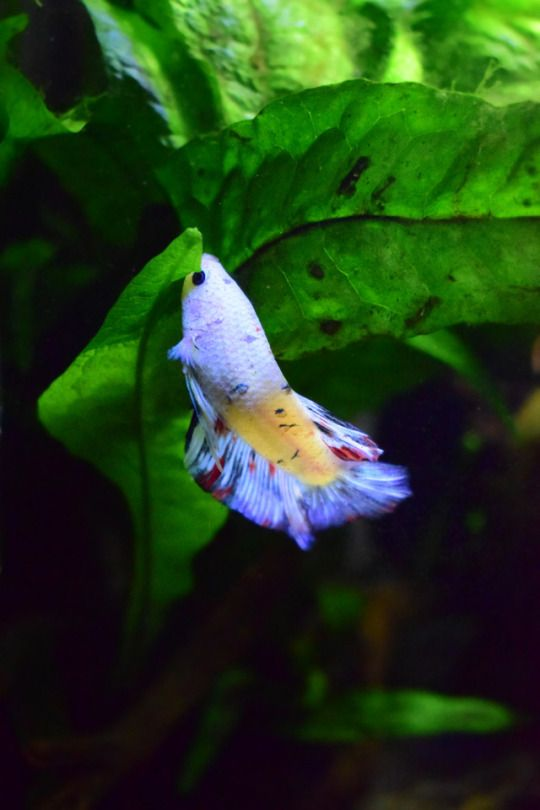 Best 25 betta tank ideas on pinterest betta fish tank for How much are betta fish