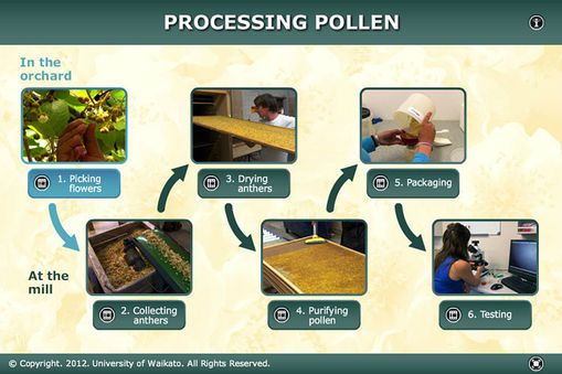 INTERACTIVE: Follow the process that PollenPlus™ uses to prepare kiwifruit pollen for use in artificial pollination, from picking male kiwifruit flowers ...