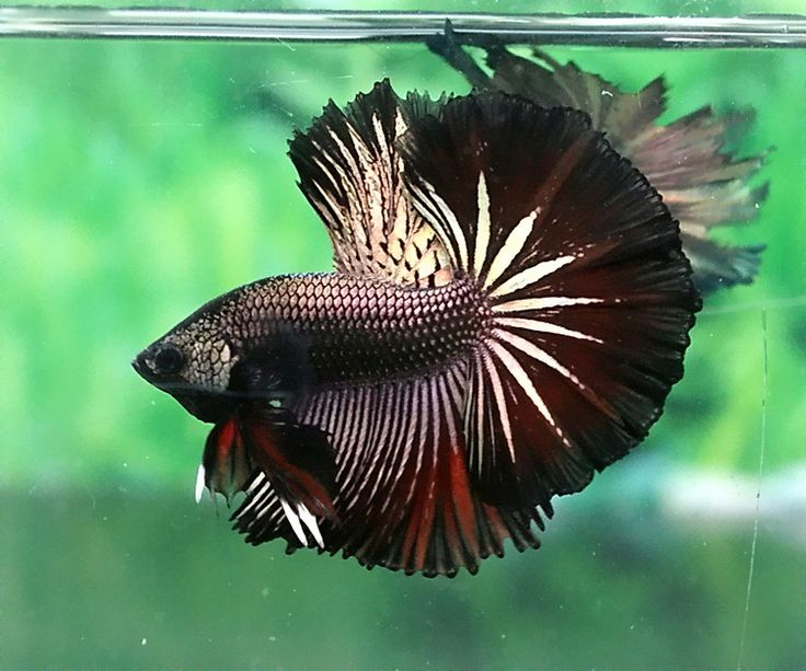Black gold devil fancy bettas pinterest black gold for Buy betta fish