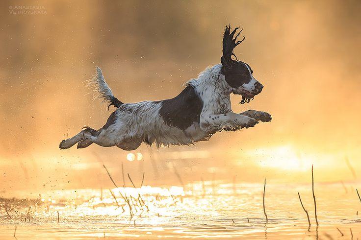 English Springer Spaniel | Flickr - Photo Sharing!