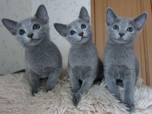 ペットショップでロシアンブルーの優美な姿に魅せられて飼いたい!と思った猫好きさんは多いと思います。そこで気になるのが、ロシアンブルーの性格や特徴や最適な飼い方です。そこで今回はロシアンブルーについて知っておきたい性格や特徴、飼育のさい気をつけたいことなどを見てみましょう。 運営者のはなです!ロシアンブルーは凶暴で有名ですが実際どうなのでしょうか?人気のロシアンブルーの実態をまとめました! ロシアンブルーの歴史と誕生の秘話 ロシアンブルーにはロシアの地名が入る「アルハンゲルキャット」や「アークエンジェルキャット」、ロシア外で付けられたと思われる「フォーリンブルー」や「スパニッシュキャット」、「マルティーズキャット」など、様々な名前で呼ばれてきた経歴を持っています。 ロシアンブルーの起源は、ロシア北部のアルハンジェル島に自然発生したブルーの猫が始まりと言われています。その見た目の美しさからロシアの貴族達から愛され、気品あふれる猫として育てられていました。 1860年頃、ロシアから商業船に乗ってイギリスへ渡ると、その美しさから瞬く間に世間の人気を得ることになります。…