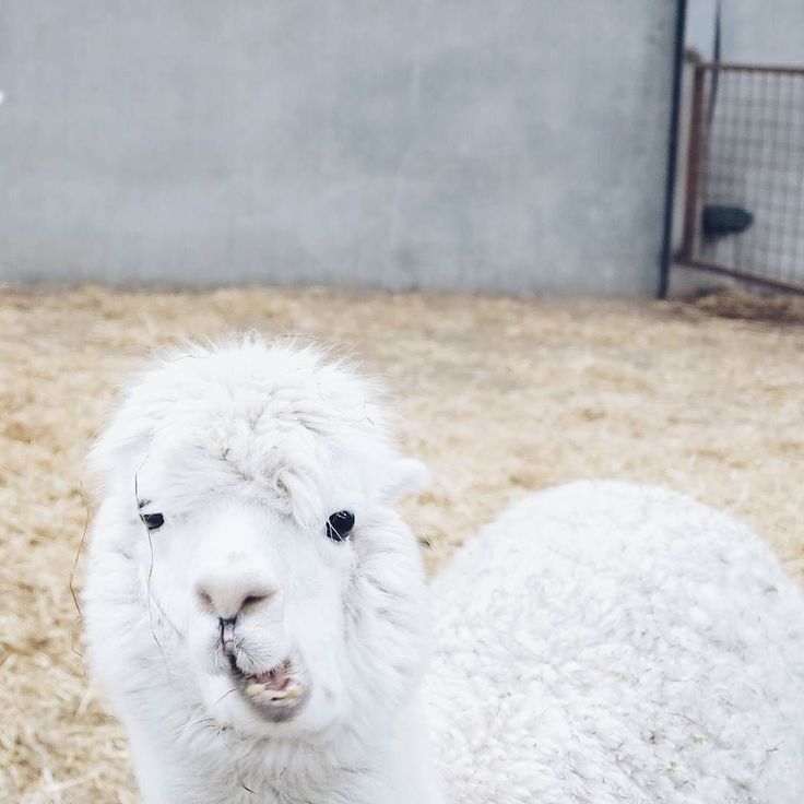 Did you know that there are alpacas in Belgium? It's true! At The Alpaca Farm in Kaulille in the province of Limburg you can visit the animals and learn about how they're being bred fed and shaven. Limburg has a ton to offer. If you want to find out what and happen to be in Flanders this Saturday February 11 you can get a free tourism brochure for the region at your nearby newspaper store. More info?  Link in bio. . . . #altijdlimburg #LVG2017 #visitlimburg #alpacasofinstagram