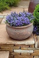 Campanula in a pot