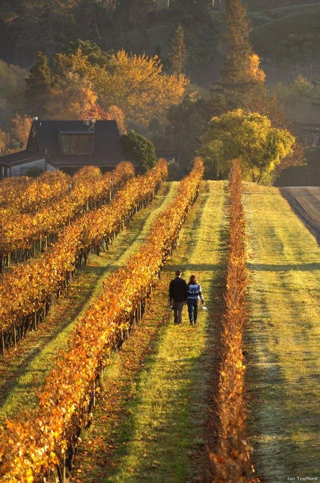 Vineyards Nelson, NZ
