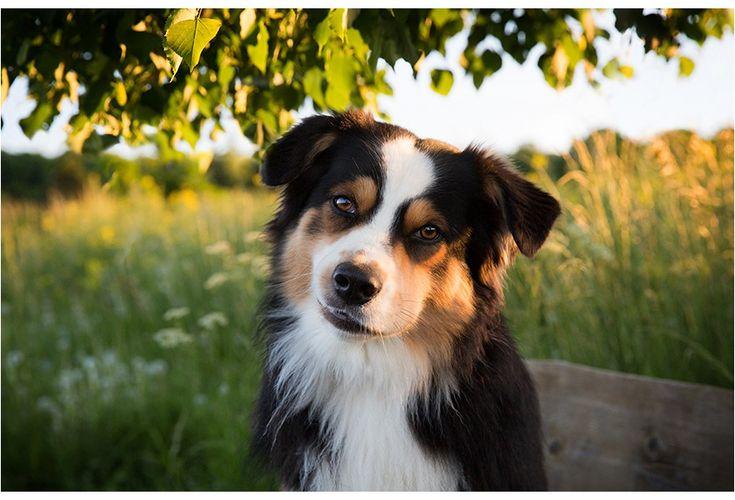 Hundefotografie Dresden Australian Shepherd Mc Dreamy 2