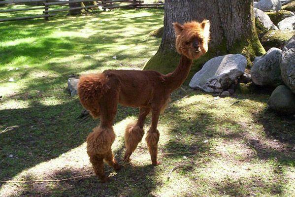 shaved llama