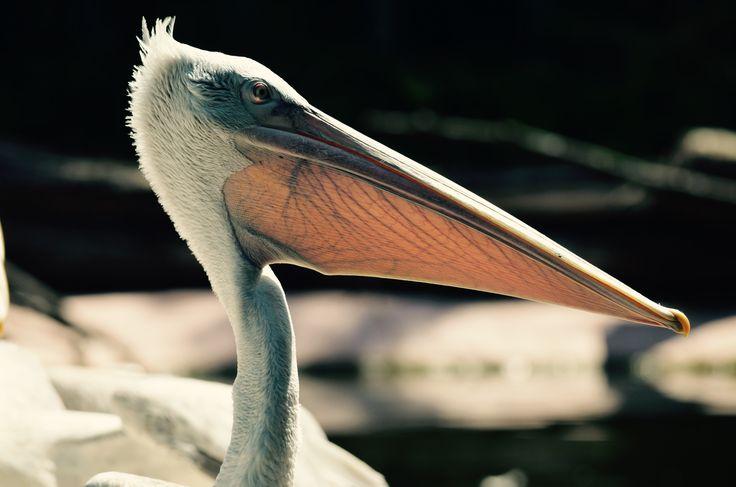 Pelican #nature #animal #birds
