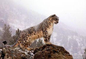 Обои стоит, Снежный барс, ирбис, горы, скала, метель, смотрит