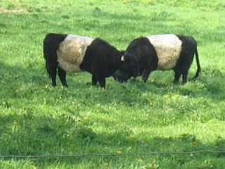 Belted Galloway cows: Galloway Cattle, Galloway Cow, Belts Galloway