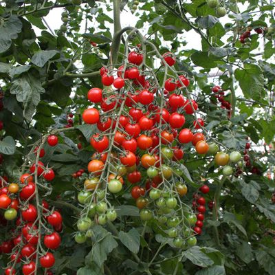 Bartelly Tomato Organic Cherry Tomato Plant Organic 400 x 300
