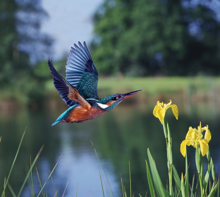 Our corporate Kingfisher - what a beautiful representation of colour in nature.