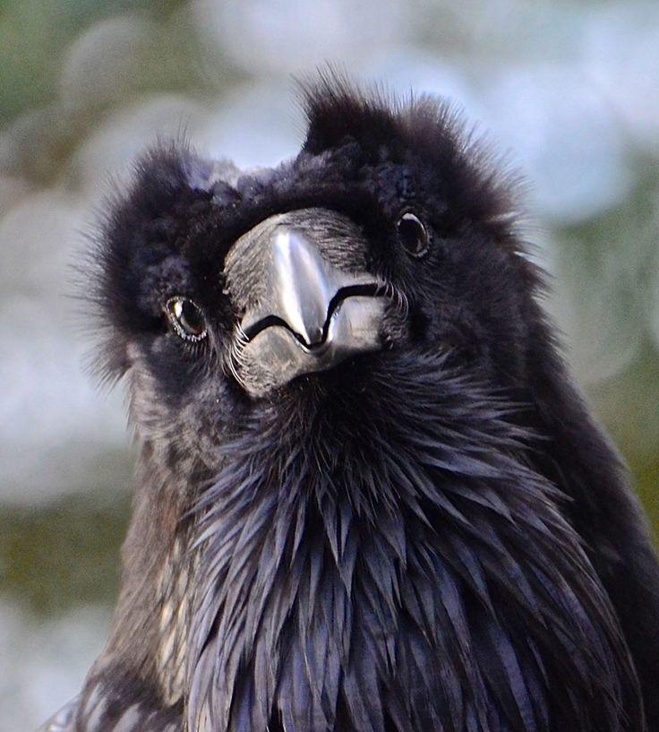 Your Daily Raven via Wendy Davis FB