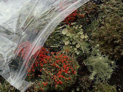 Large Terrarium Mix of Live Lichens British Soldier Pityrea Pixie Cup Cladonia Mosses 1 Pint