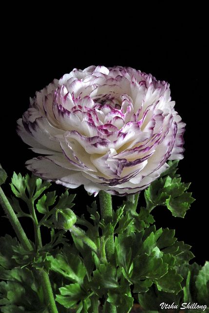 """RANUNCULUS"" by Vishu Shillong on Flickr"