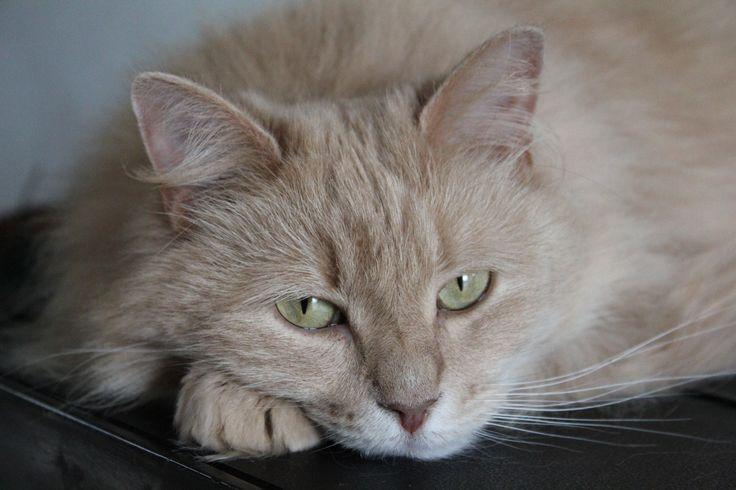 Doescha, onze Siberische boskat. Ze is heel alert, slim en fel. Dit ras scheen vroeger bovenin torens van kloosters op de uitkijk te zitten, als een soort 'waak'-kat.