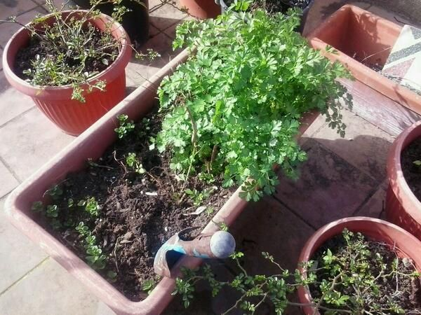 Photo entry for my vegetable garden. Share a photo of your vegetable garden on twitter w/ the #unfaozhcgarden hashtag and it will be added to the board. ©Irene Casado Martinez