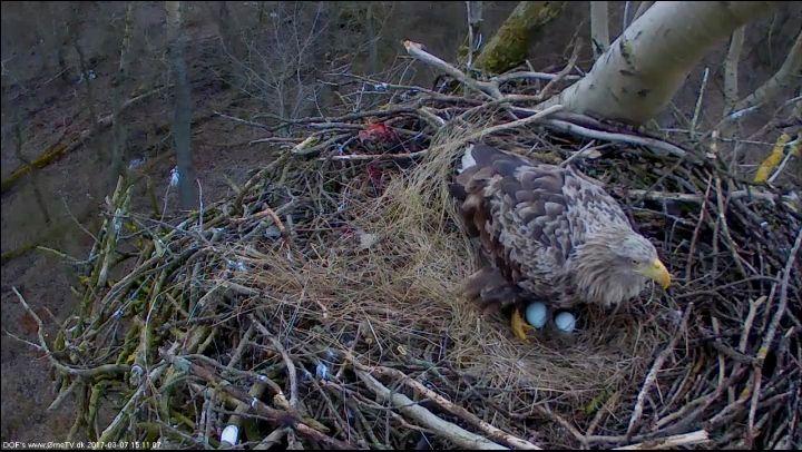 Nylagte æg hos landets mest kendte havørne-par - Dansk Ornitologisk Forening